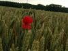 26/06 - cela fait quelques jours que je vois ce coquelicot depuis ma fenêtre. .. tout seul dans le champs...